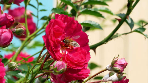 Honey bees in the rose bush 4k Footage