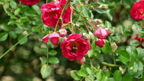 Bumblebee collects nectar from rose bush 4k Footage