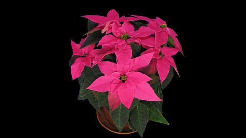 Time-lapse of growing poinsettia Christmas flower, 4K with ALPHA channel Footage
