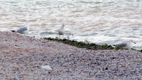 Seagulls at the shore on a beach full of algae and the broken shells Footage