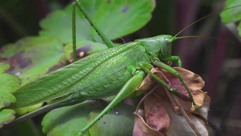 The female green grasshopper Footage