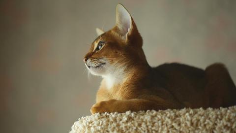 Abyssinian kitten Footage