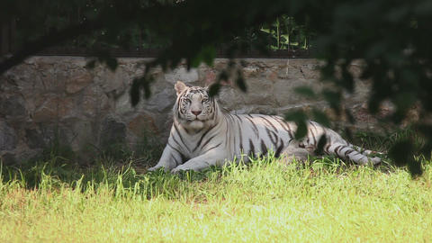 White tigress with cub Live Action