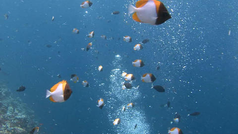 Amazing Dive On The Beautiful Reef Blue Corner. A Flock Of Pyramid Butterfly Fis stock footage