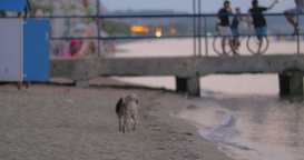 Dirty Homeless Stray Dog on the Beach Footage