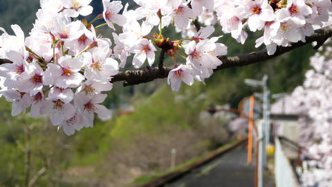 4K Sakura012