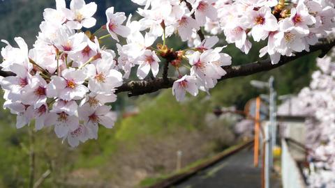 4K Sakura012 動画素材, ムービー映像素材