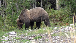 Rockies Grizzly Footage