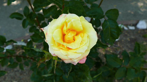 close-up yellow rose, faded yellow roses in the garden, love and yellow rose Footage