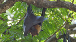 Fruit Bats Hanging Upside Down with its cub Footage