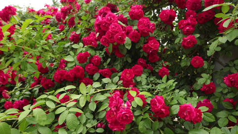 Beautiful red roses in garden for Valentine Day Filmmaterial