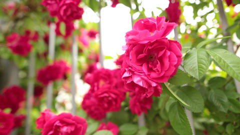 Closeup of a blossoming pink rose in a fairy-tale garden Footage