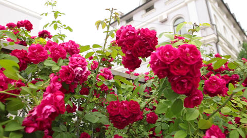 Wonderful fragrant roses in a summer garden against a white building Live Action
