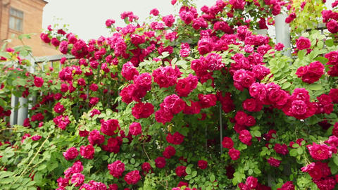 Garden fence with hundreds of red roses. Pan shot Footage