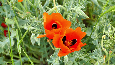 poppies,summer flower naturel poppy,spring flowers... Stock Video Footage