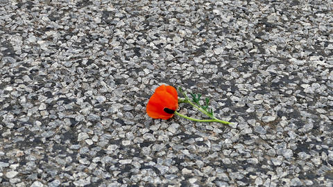 the broken poppy flower is standing on the road Live Action