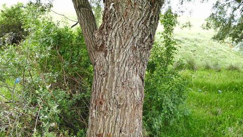 willow tree Stump, Wooden stump isolated Footage