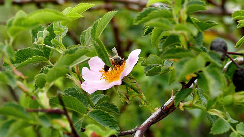 rosehip collect bee pollen from flowers Footage