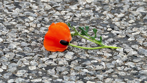 the broken poppy flower is standing on the road, love and poppy flower Footage