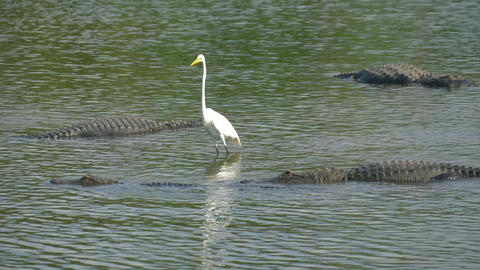Alligator floats just above the water Footage