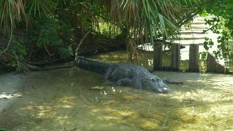 American Alligator - Alligator mississippiensis Footage