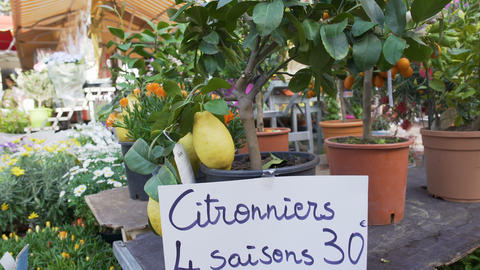 Many citrus fruit trees with lemons and oranges sold at orangery, market trade Footage