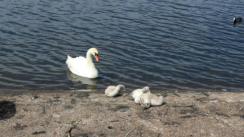 Mute swan family on the lake shore and Eurasian coot bathing in a lake/Swan with Footage
