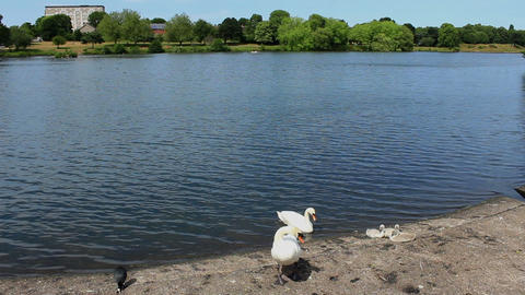 Wide view of the lake and mute swan with chicks on the lake shore/Eurasian Live Action