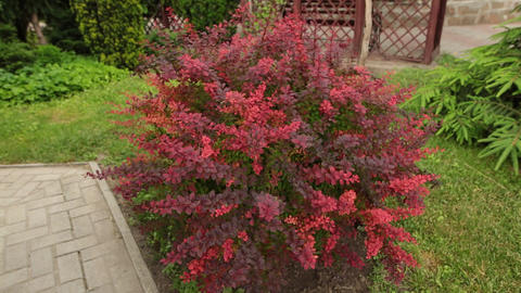 Bush of Berberis in the garden. Branches and leaves moving in the wind Footage