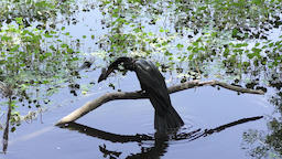 anhinga drops fish in the pond Footage