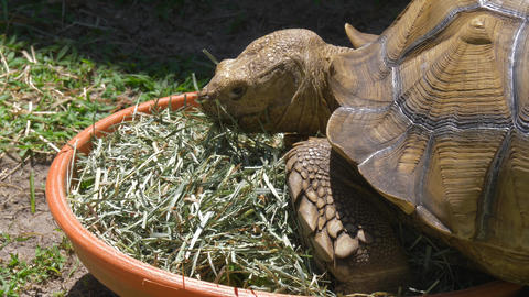 Big African Sulcata Turtle eating grass Live Action