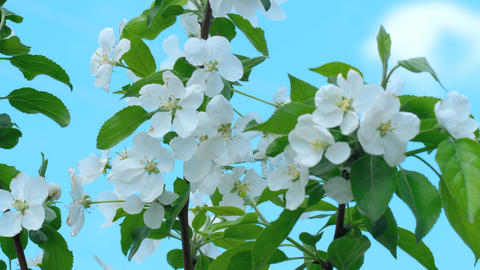 Apple-tree in bloom Footage