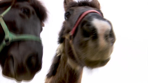The friendly Icelandic horse looks into the camera Footage