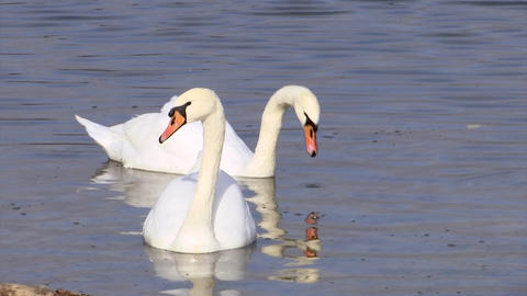 Two Beautiful white swans swim on Abrau lake in search of fish ビデオ