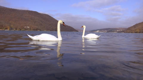 Two Beautiful white swans swim on Abrau lake in search of fish Footage