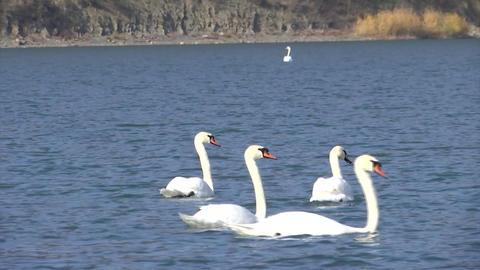 Beautiful white swans swim on Abrau lake Footage