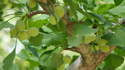 Ginkgo tree with Ginkgo nuts Live Action