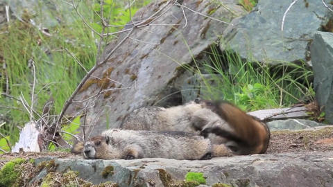 Marmots family animals furry cute Footage