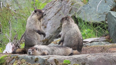 Marmots family animals furry cute, Live Action