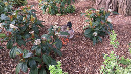 Duck in the flower bed Somerset UK GIF