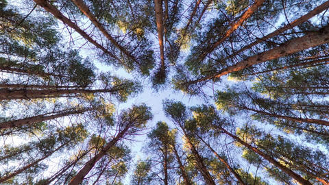 Looking up into pine forest canopy Live Action
