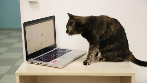 Cat sits at the laptop computer on table Footage