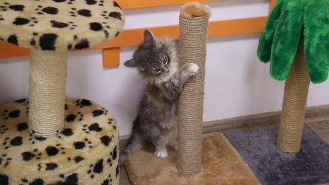 Little gray cat playing at scratching post Footage