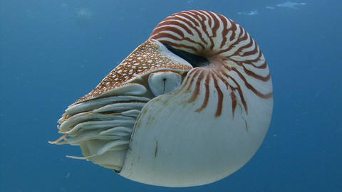 Exciting dives with amazing mollusks the Nautilus Footage