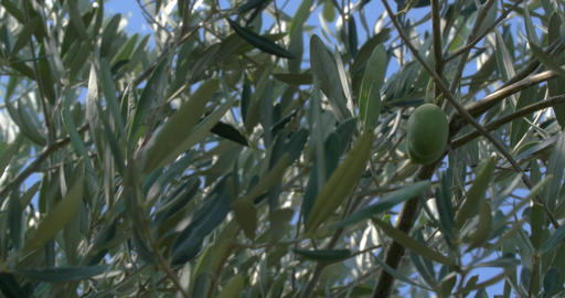 Green Olives Growing on the Tree Footage