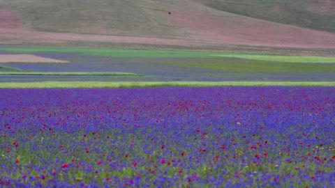 Spring flowering in Castelluccio di Norcia GIF