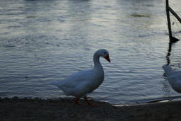 Goose on the Loire river side2 Photo