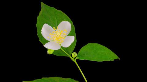 White Jasmine Flower Opening Footage