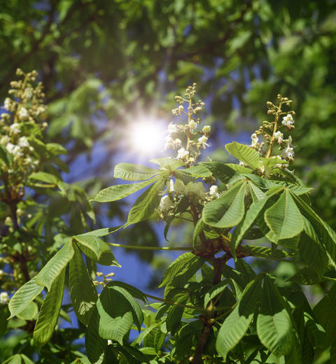branch of chestnut with green leaves and white flowers Photo
