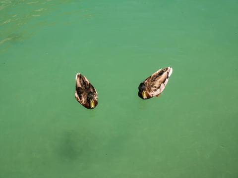 little ducks in the Lake of Annecy, France Fotografía